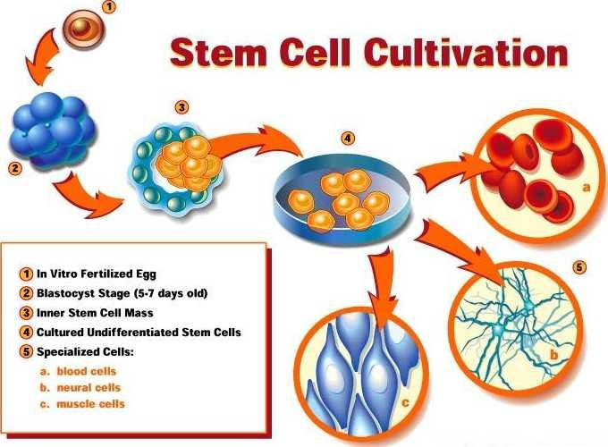 stem-cell-cultivation