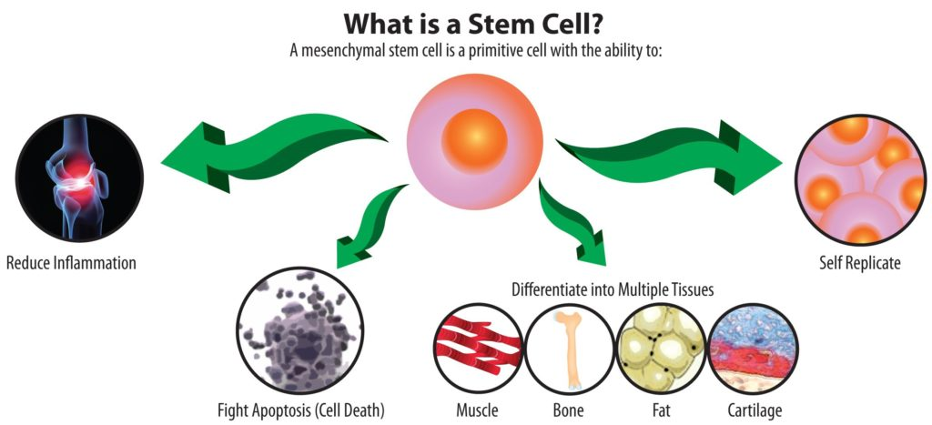 what-are-stem-cells